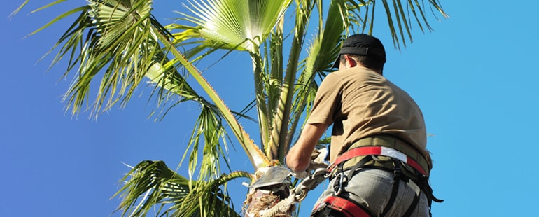 strong signs when palm trees need to be removed